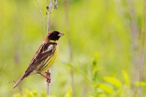Yellow Breasted Bunting